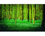 Fototapeta Green forest